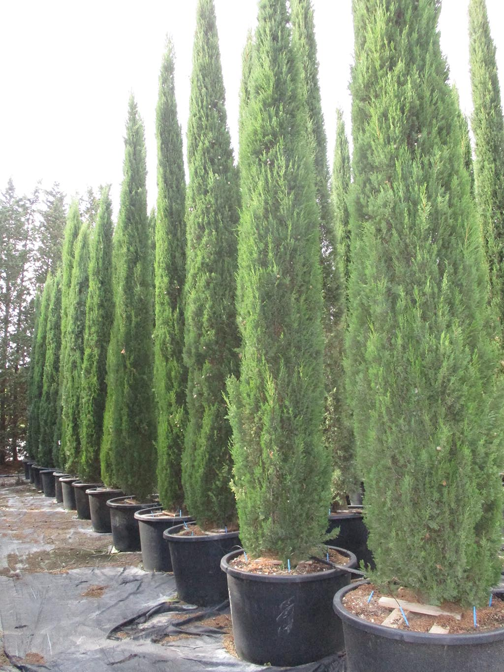 cupressus sempervirens stricta. Black Bedroom Furniture Sets. Home Design Ideas